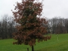 donated white oak in fall color