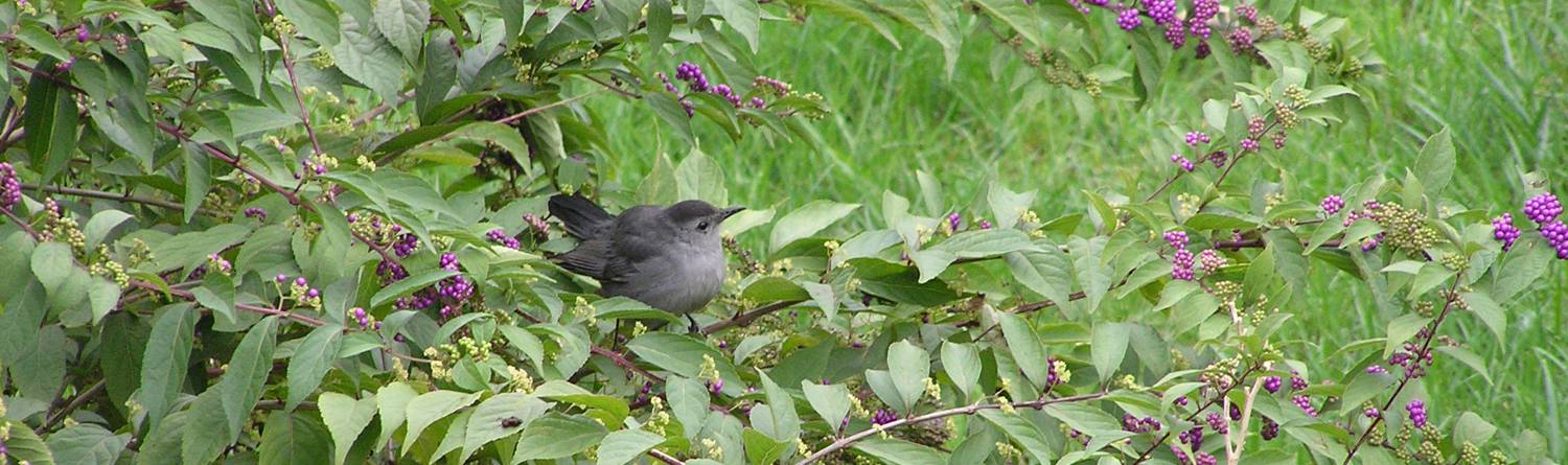 native plants attract birds